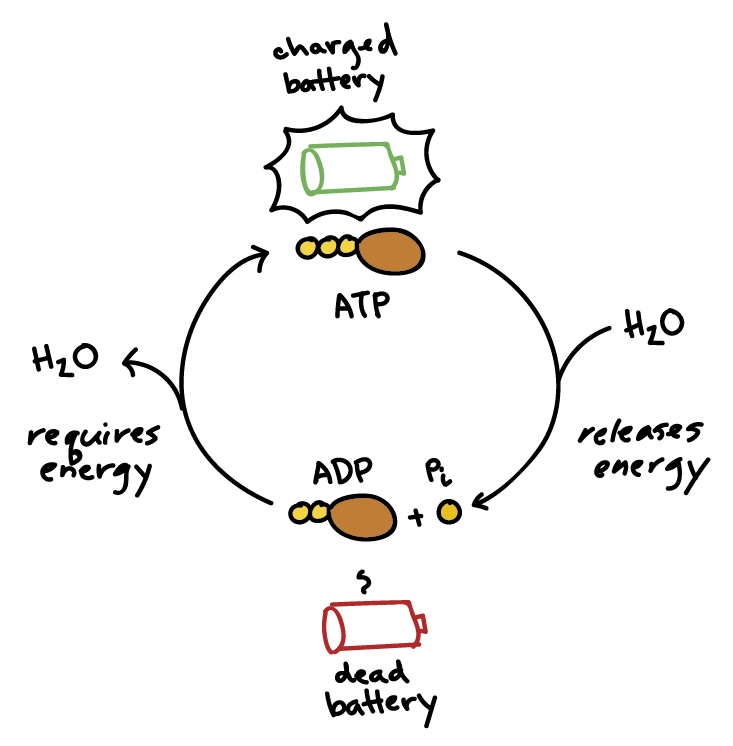 Creatine ATP Cycle